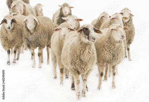 Fotografie, Obraz  Sheep herd