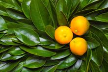 Calamondin Citrus Fruits On The Green Leaves