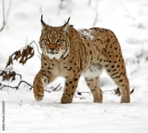 Foto op Canvas Lynx winter Lynx