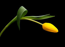 Yellow Tulip Flower Arching Gracefully Over Black