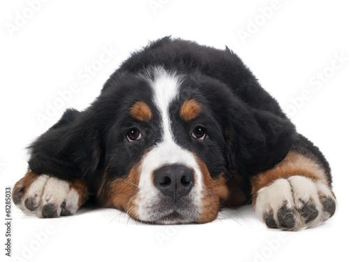 Berner Sennenhund on white background in studio