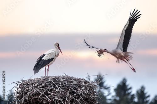 Fototapeta stork