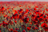 beautiful red poppy field