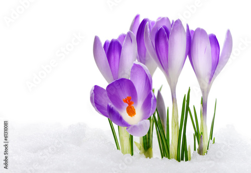 Deurstickers Krokussen Purple Crocuses