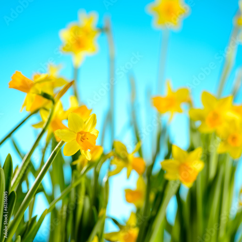 Garden Poster Narcissus Spring flowers yellow narcissus on blue background