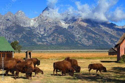 La pose en embrasure Bison Bison and Mormon Row Barn in the Grand Tetons