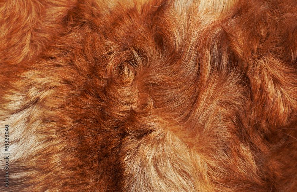 Fototapeta Macro Wool bright-red dog