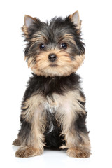 Panel SzklanyYorkshire terrier puppy
