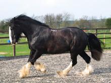 Trotting Shire Horse