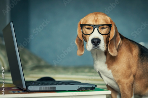 Carta da parati Sleepy beagle dog in funny glasses near laptop