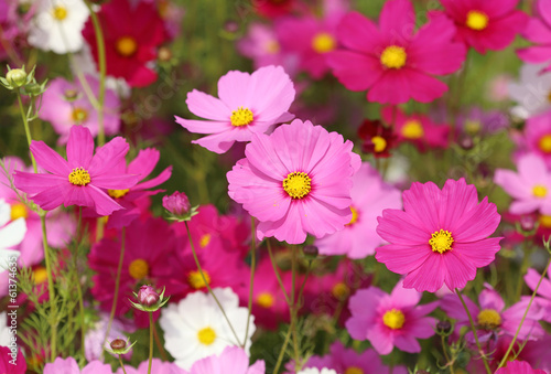 Deurstickers Roze beautiful cosmos flower