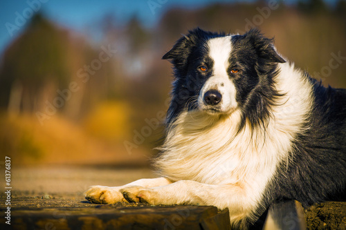 border collie dog Fotobehang