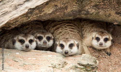 Obraz na płótnie Portrait of meerkat