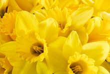 Close Up Bunch Of Yellow Daffo...