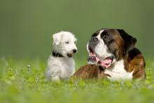 Parson Jack Russell Terrier Und Deutscher Boxer