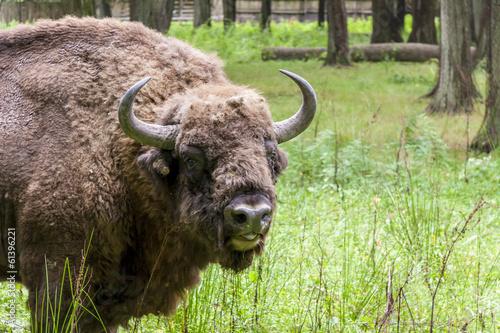 Fotografie, Obraz  Bialowieski National Park - Poland. Aurochs head.