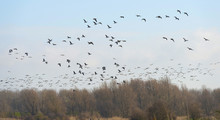 Geese Flying Over Nature In Wi...