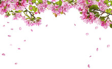 Apple Tree Blossom Branches And Falling Petals