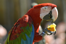 Portrait Scarlet Macaw Eating ...