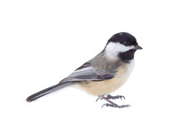 Black-capped Chickadee, Poecil...