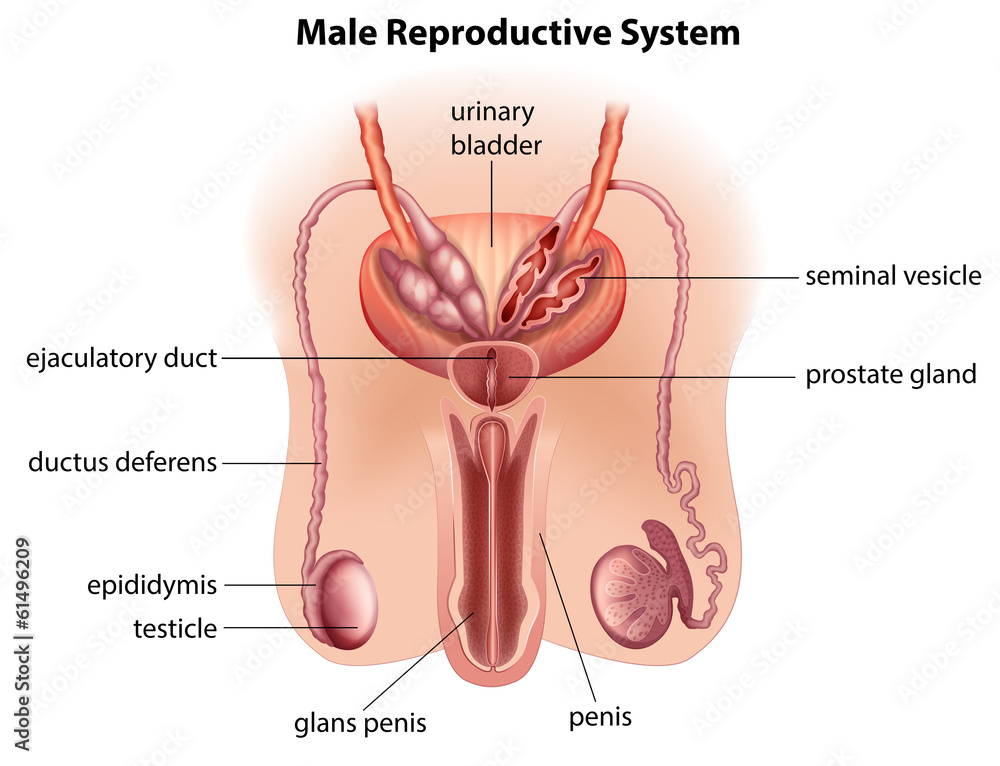 Anatomy Of The Male Reproductive System Foto Poster Wandbilder Bei