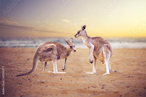 Poster de jardin Kangaroo Kangaroos