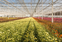 Many Small Chrysanthemum Plants In A Very Big Chrysanthemum Nurs