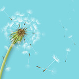 Fototapeta Dmuchawce - White dandelion with pollens isolated