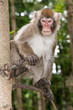 macaque monkey sitting on a tree looking down