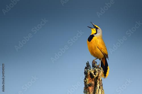 Deurstickers Vogel Bokmakierie bird calling