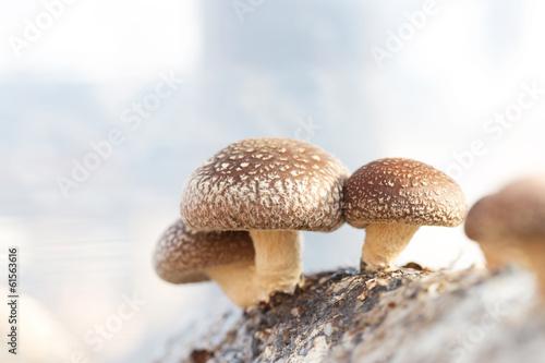 Fototapeta Shiitake mushroom growing on trees obraz