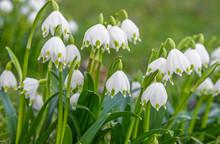 Spring Snowflake Flowers