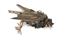 Side View Of A Dead Common Starling In State Of Decomposition