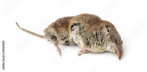 Fotografie, Obraz  Dead Greater white-toothed shrew, Crocidura russula, isolated