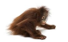 Young Bornean Orangutan Sittin...