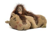 Young Bornean Orangutan Hugging Its Burlap Stuffed Toy