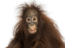 Young Bornean Orangutan Looking Impressed, Pongo Pygmaeus
