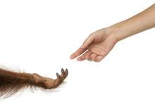 Bornean Orangutan And Human Hands Reaching At Each Other