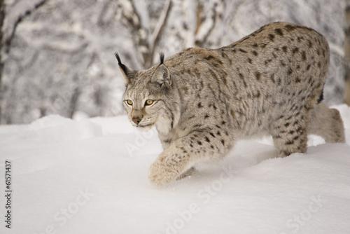Foto op Aluminium Lynx Hunting lynx