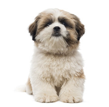 Front View Of A Shih Tzu Puppy...