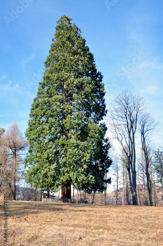 Fotografie, Obraz  Giant sequoia