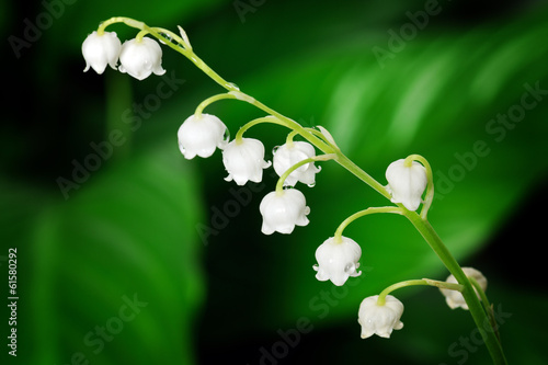 Wall Murals Lily of the valley lily of the valley