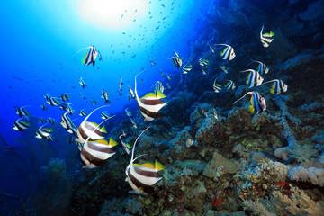 Fototapeta na wymiar Shoal of longfin bannerfish in the red sea
