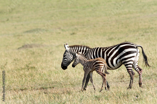 In de dag Zebra A beautiful baby zebra in mothers protection