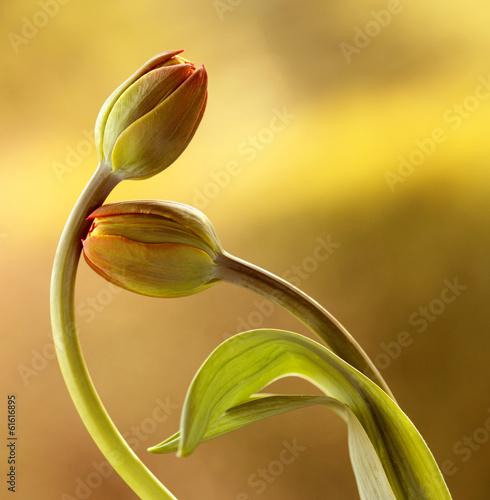 Fototapeta Tulipany obraz
