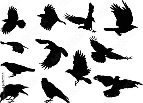 set of twelve crow silhouettes isolated on white Poster