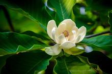 Spring Magnolia Tree Flower