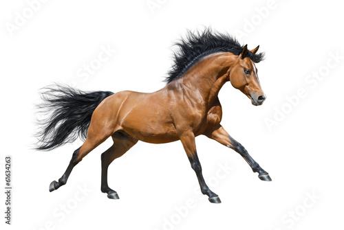 Photo Chestnut stallion in motion