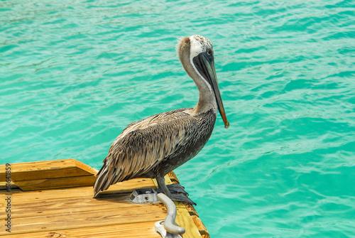 Foto op Plexiglas Caraïben Pelican