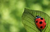 Ladybug - 61656666